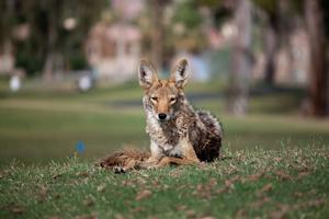 How to protect your property from coyotes