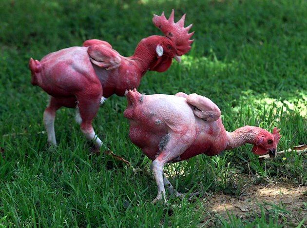 Two featherless chickens peck …