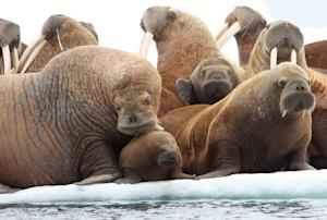 Walruses Forced Ashore as Arctic Ice Disappears