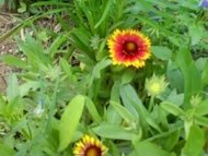 Plant or prune back blanket flowers for late summer blooms.