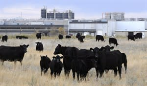 Cattle in pasture beside XL Foods' Lakeside Packers plant at Brooks, Alberta in this Oct. 1, 2012 photo. THE CANADIAN PRESS/Larry MacDougal