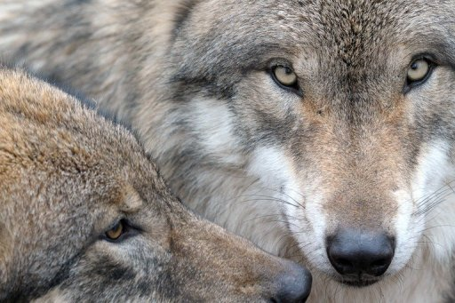 A five-year-old Iraqi boy was pounced upon and killed by a wolf as he picked dates in a palm grove near the town of Hilla in central Iraq
