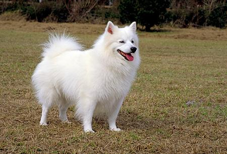 American Eskimo Dog...New Yawker?