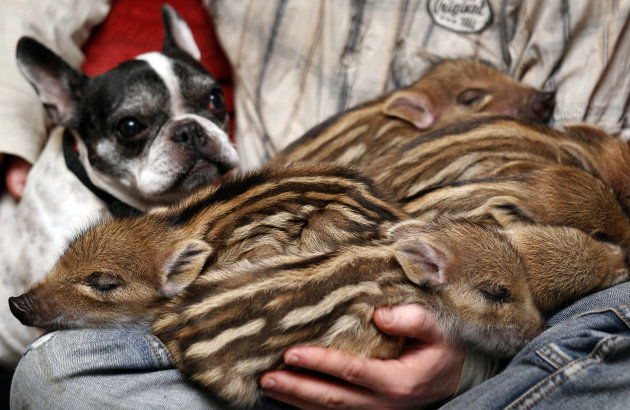 French bulldog named Baby, left, attends the feeding of wild boar piglets at the Lehnitz animal sanctuary outside Berlin, Germany, Wednesday, Feb. 15, 2012. Six little pigs have found a new friend in