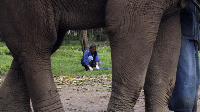 In this photo taken Dec. 4, 2012, Pimnipa Petkla, 39, a Thai mahout's wife, sifts through elephant dung for coffee beans at a camp in Chiang Rai province, northern Thailand. A Canadian entrepreneur with a background in civet coffee has teamed up with a herd of 20 elephants, gourmet roasters and one of the country's top hotels to produce the Black Ivory, a new blend from the hills of northern Thailand and the excrement of elephants which ranks among the world's most expensive cups of coffee. (AP Photo/Apichart Weerawong)