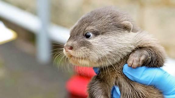 Otter Pups Make Zoo Debut