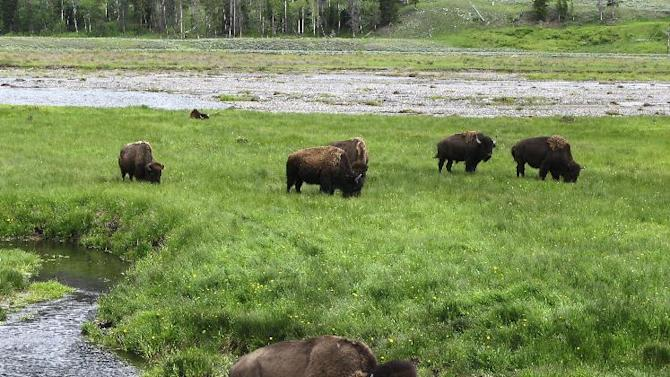 FILE - In this June 19, 2014, file photo, bison graze near a stream in Yellowstone National Park in Wyoming. For the second time in three weeks, a bison has seriously injured a tourist in Yellowstone National Park. Park officials say injuries to the 62-year-old Australian aren't life-threatening though the bison tossed him several times into the air Tuesday morning, June 2, 2015. (AP Photo/Robert Graves, File)