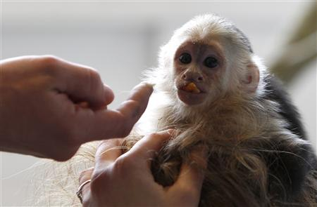 Pet monkey of Canadian singer Bieber is seen animal home in Munich