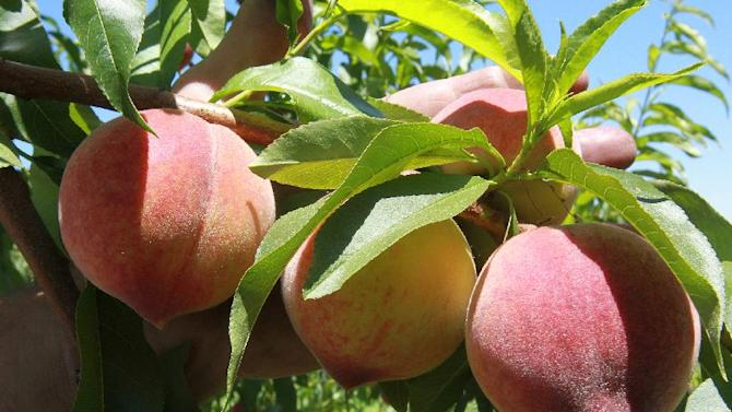 This Wednesday May 23, 2012, photo, shows a sample of PF-1 variety peaches at Eckert's Orchards in Belleville, Illinois.  Illinois peach growers say mild winter are providing record-breaking early harvests. (AP Photo/Belleville News-Democrat, Tim Vizer)