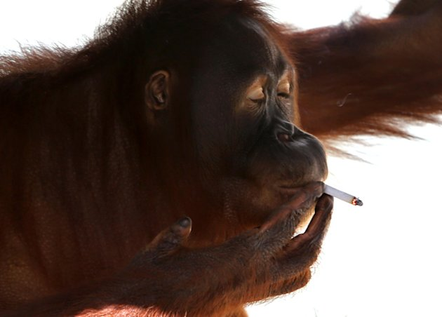 FILE - In this Friday, July 6, 2012 file photo, Tori, a 15-year-old orangutan smokes a cigarette inside her cage at Satwa Taru Jurug zoo in Solo, Central Java, Indonesia. Indonesian zookeepers have moved a female orangutan with a bad habit of smoking away from visitors who regularly throw lit cigarettes into her cage. Tori has been smoking cigarettes for a decade, mimicking human behavior by holding cigarettes casually between her fingers while visitors watch and photograph her puffing away and flicking ashes on the ground. (AP Photo)
