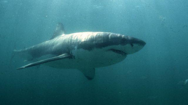 South Africa's great white sharks are in danger of being wiped out