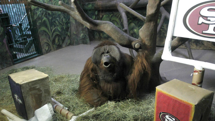 "Hogle Zoo's Orangutan ""Eli"" howls after destroying the Baltimore Ravens logo banner, left, upon entering his enclosure Thursday Jan. 31, 3013. It took him about two seconds to tear it down upon entering.  He left the San Francisco 49er's logo alone, meaning he has picked the Ravens to win Sunday's Super Bowl. Primates at the zoo have correctly picked the Super Bowl winner in each of the last five years. (AP Photo/The Salt Lake Tribune, Al Hartmann)  DESERET NEWS OUT; LOCAL TV OUT; MAGS OUT"