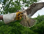James, a Lanner Falcon bred Saudi Arabia takes part in a training session at the Wings Over America bird sanctuary in Laurel, Maryland on June 14, 2012. James is one of a pair of handsome Lanner falcons, bred in Saudi Arabia, that came to the United States a few weeks ago on a mission to change the lives of inner-city youth