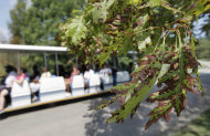 In this Thursday, Aug. 2, 2012 photo, tourists in a tram pass a red oak tree that shows signs of scorching at the Chicago Botanic Garden in Glencoe, Ill. Many of the garden's 2.5 million plants have required extra watering during the summer's triple-digit heat. (AP Photo/M. Spencer Green)