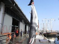 A minke whale accidentally caught by nets cast by South Korean fishermen off the west coast is hung in the western port of Taean in June 2012. South Korea said Wednesday it may scrap its fiercely criticised plan to resume &quot;scientific&quot; whaling if experts come up with non-lethal means to study the mammals in its waters