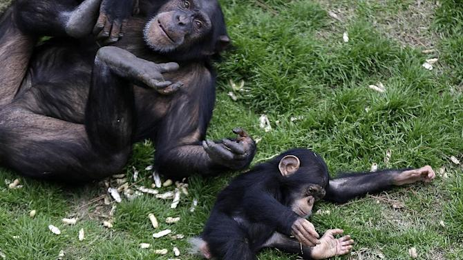 An adult chimp plays with a young chimp at Chimp Haven in Keithville, La., Monday, Feb. 18, 2013. One hundred and eleven chimpanzees will be coming from a south Louisiana laboratory to Chimp Haven, the national sanctuary for chimpanzees retired from federal research. (AP Photo/Gerald Herbert)
