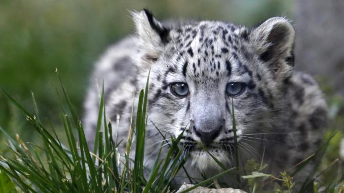 A three month old snow leopard cub is seen at the Brookfield Zoo in Brookfield, Illinois