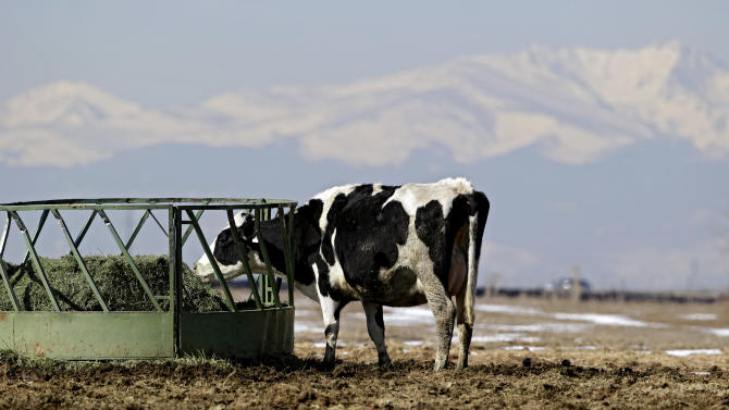 A dairy cow, with a tail, feeds on hay at Johnson's Acres Dairy Farm near Brighton, Colo., on Wednesday, March 6, 2013. The Colorado Legislature is working on a bill that would make it illegal to cut off tails on dairy cows. The snow capped Rocky Mountains can be seen in the distance.  (AP Photo/Ed Andrieski)