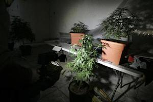 Marijuana plants are seen in a room of a house in Zapopan