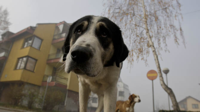 Stray dogs walk through the residential area in the Sarajevo suburb of Dobrnja, Bosnia, on Tuesday, Nov. 27, 2012. Bosnia passed a law nearly four years ago banning the killing of strays, alarmed at a sharp rise in canine slaughter as wild dogs proliferated on Bosnian streets. But people ignored the law, largely because authorities failed to provide alternatives such as sterilization. Sarajevo has become the only city in Bosnia where the law is respected _ thanks to a new city-funded dog shelter run by animal protection activist Amela Turalic that performs sterilizations. (AP Photo/Amel Emric)