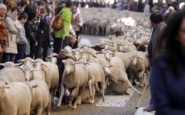 Shepherds lead their sheep through the centre of Madrid, Spain, Sunday, Oct. 28, 2012. Spanish shepherds led flocks of sheep through the streets of downtown Madrid in defense of ancient grazing, migra