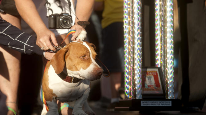 Walle, 4-year-old mix of beagle, boxer and basset hound, celebrates after winning top honors in the 25th annual World's Ugliest Dog Contest at the Sonoma-Marin Fair on Friday, June 21, 2013, in Petaluma, Calif. (AP Photo/Noah Berger)