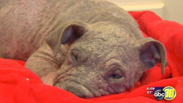 Valley shelter rescues hairless pit-bull pup