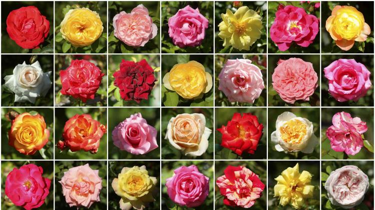 A combination of photographs shows roses in a public rose garden in Vienna