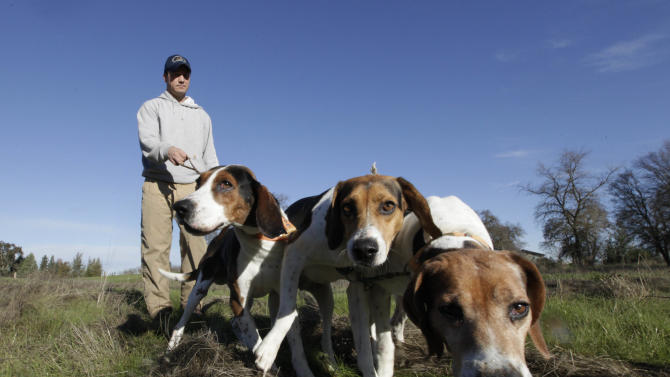 In this photo taken Tuesday, Dec. 18, 2012, Josh Brones, president of the California Houndsmen for Conservation, walks his hunting dogs, Dollar, left, Sequoia, center and Tanner right, near his home in Wilton, Calif.  After Jan. 1, California hunters will no longer be able to use dogs to hunt bobcats and bears, under a law authored by Sen. Ted Lieu, D- Torrence.(AP Photo/Rich Pedroncelli)