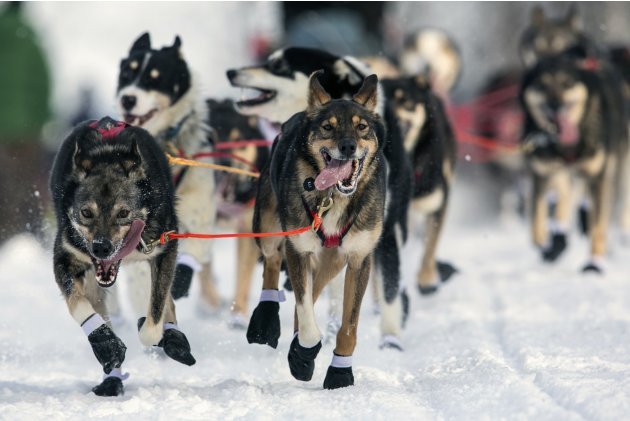 Ambrose's team charges down the trail at the re-start of the Iditarod dog sled race in Willow