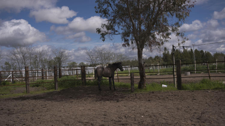 "In this photo taken on Monday, April. 8, 2013, a  ''Pura Raza Espanola'' or Pure Spanish Breed horse belonging to breeder Francisco Mesa is seen at ""La Yeguada de la Nobleza"" ranch in Almonte, in the southern Spanish region of Andalusia. Barring an unlikely reprieve, Mesa' purebreds will be turned into horse meat for export come July. They are victims of a wrenching economic downturn that has wiped out fortunes, turned housing developments into ghost towns and left more than a quarter of the population out of work. (AP Photo/Laura Leon)"