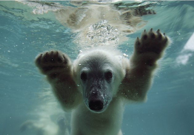 Anori, the polar bear cub,