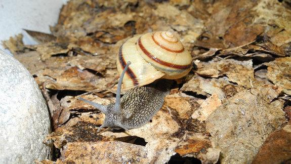 Bizarre Valentine: Why Mating Snails Stab With 'Love Darts'