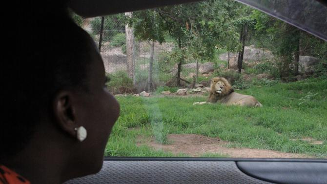FILE -   This January, 2013 photo from files shows a woman watching a lion in a wildlife sanctuary near Kariba, Zimbabwe. Wildlife rangers in Zimbabwe put the northern resort town of Kariba on full alert, Wednesday, March 6, 2013, after rogue lions mauled to death two people near a suburb there. The National Parks and Wildlife said fliers had been handed out in the town and volunteers were using a loudspeaker to caution people on the dangers of lion attacks on the shores of Lake Kariba. (AP Photo/Tsvangirayi Mukwazhi, File)