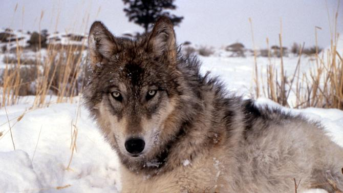 FILE - This undated image provided by the National Park Service shows a gray wolf in the wild. Western ranchers say they're hopeful the removal of gray wolves from the federal endangered species list will make it easier to hunt the predators and stem losses of cattle and sheep. (AP Photo/National Park Service, File)
