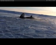 A pod of killer whales trapped in ice struggled to breathe before sea ice movement opened an escape route.