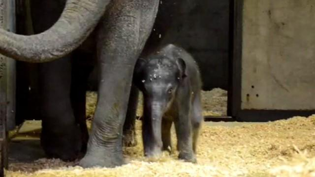 Baby Elephant Meets Her Brother