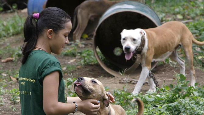 A volunteer from the Philippine Animal Welfare Society (PAWS) pets a pit bull, one of more than 200 rescued from South Korean nationals at a coffee farm lot in San Pablo city, Laguna province, south of Manila, Philippines, Tuesday, April 3, 2012. Dozens of pit bulls, rescued from a dogfighting ring will be put down starting Tuesday by the animal welfare activists who said there are no facilities to rehabilitate them and prevent them from again being used in underground arenas. (AP Photo/Bullit Marquez)