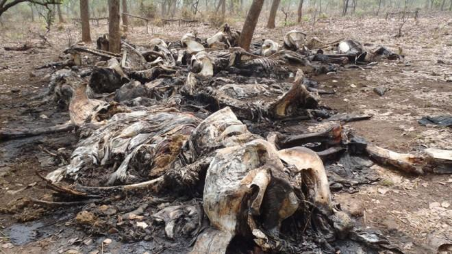 The carcasses of elephants, slaughtered by poachers, at the Bouba Ndkida National Park in Cameroon, Africa.