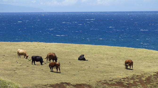 Cattle graze on a field near Paia, Maui, Hawaii