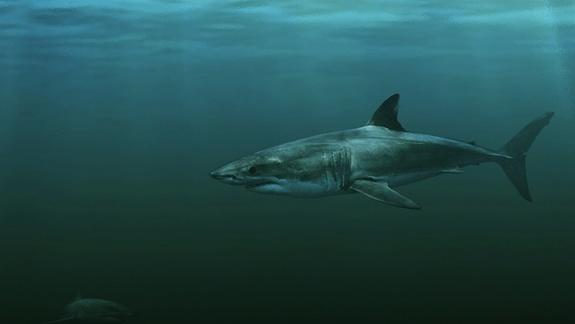 Who's Your Daddy? For Great White Shark, Maybe It's Mako