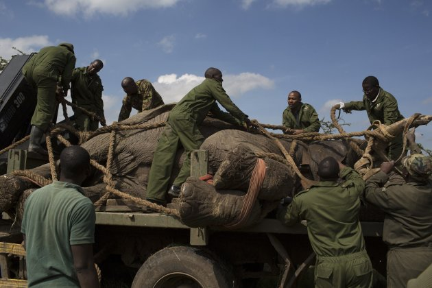 KWS wardens secure a sedated elephant on the back of a truck during a relocation exercise on the margins of the Ol Pejeta conservancy in central Kenya