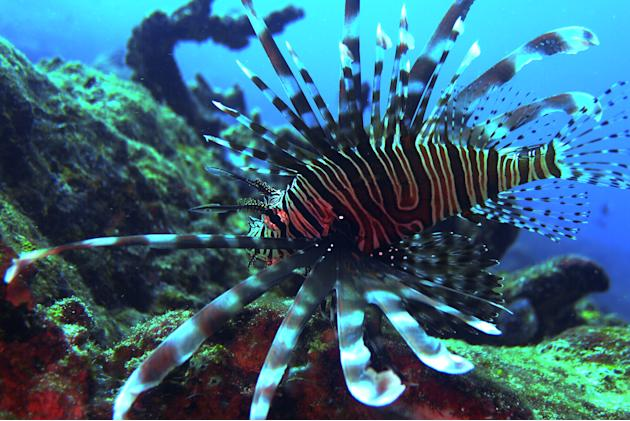 This fish, which was photographed in Derawan, Indonesia, looks like a zebra but is actually called a Lionfish and belongs to the same family as the Scorpionfish.