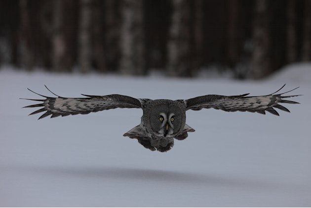 "Grey owl as seen on ""Frozen Planet."""