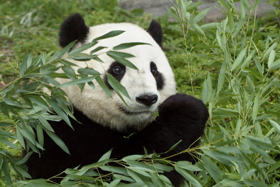 Pandas' Bamboo Food May Be Lost to Climate Change