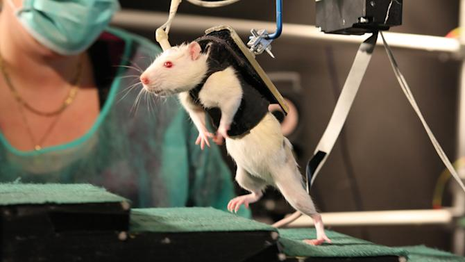 In this undated photo provided by the Ecole Polytechnique Federale de Lausanne, a previously paralyzed rat in a special harness walks voluntarily after several weeks of rehabilitation in a laboratory in Switzerland. In the new experiment reported in the Friday, June 1, 2012 issue of the journal Science, researchers led by Gregoire Courtine, of the University of Zurich and the technical university EPFL in Lausanne, Switzerland, stimulated spinal nerve circuits and used physical training. The stimulation was electrical current from implanted electrodes plus injections of a chemical mix, helping the rodents overcome paralysis to walk and climb stairs. (AP Photo/Ecole Polytechnique Federale de Lausanne)
