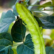 'Asian Winged' bean