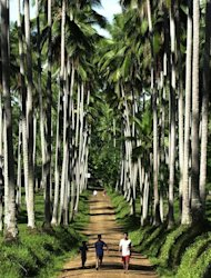 This file photo taken on June 13, 2001 shows villagers walking along a path on a coconut plantation in the town of Lantawan, on the Philippine island of Basilan. In his most recent state of the nation address, President Benigno Aquino hailed coconut water as one of the country&#39;s most promising new export opportunities