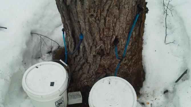 Sticky-fingered thieves target sap in Maine