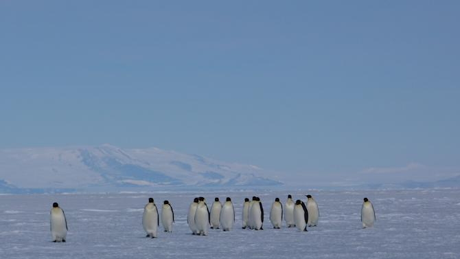 In this Dec. 9, 2012 photo released by Thomas Beer, emperor penguins walk across sea ice near Ross Island, Antarctica. The continent's pristine habitat provides a laboratory for scientists studying the effects of climate change. (AP Photo/Courtesy Thomas Beer)